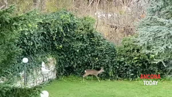 Il capriolo torna a far visita in giardino, è diventato uno di famiglia | VIDEO