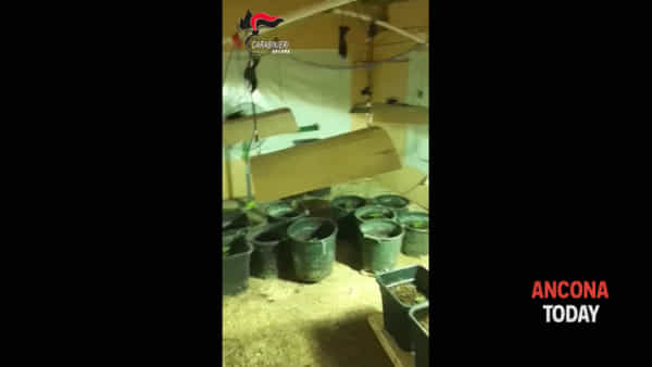 La marijuana si fa in famiglia, scoperta la fabbrica della droga in casa – VIDEO