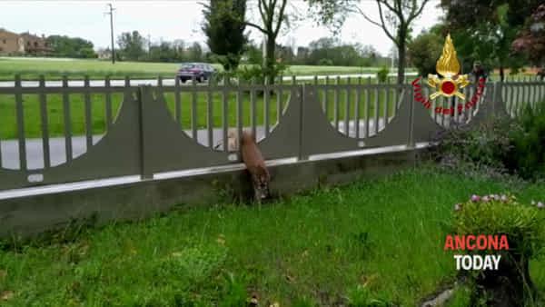 Rischia di morire tra le grate di una recinzione, capriolo salvato dai Vigili del Fuoco - VIDEO