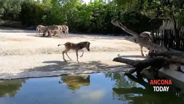 Fiocco azzurro allo zoo, i primi passi della zebra Achille | VIDEO