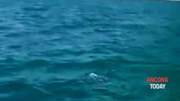 Flipper, altro spettacolo: il delfino saluta i turisti in barca | VIDEO