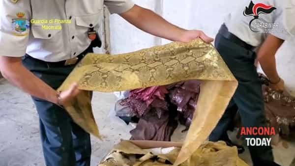 Pelli di animali protetti nascoste in azienda: le immagini della scoperta | VIDEO