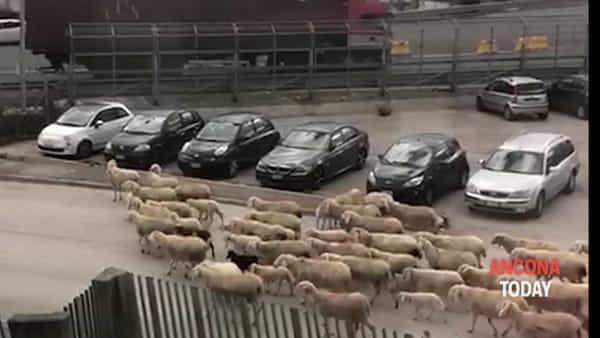 Il traffico che non ti aspetti, gregge di pecore in fila al casello | VIDEO