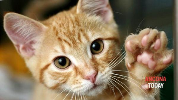 I gatti piu' belli del mondo: al via l'esposizione internazionale felina